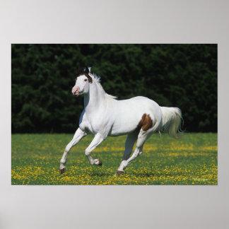 Pinte el caballo que corre en campo herboso póster