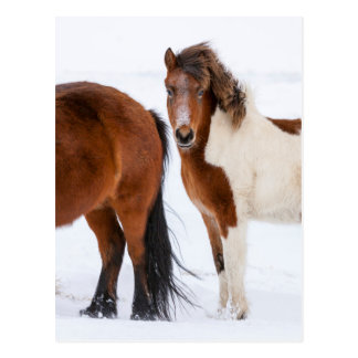 Pinto Colored Icelandic Horse Postcard