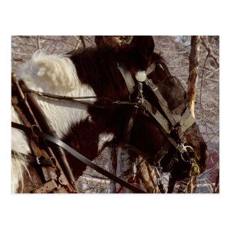Pinto Draft Horse Postcard