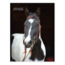 """Pinto Filly named horse post card """"Sugar"""""""