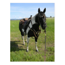 PINTO HORSE POST CARD