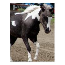 Pinto Mini Horse Postcard