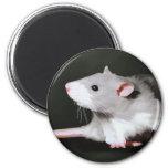 Pintura linda de la rata imanes para frigoríficos