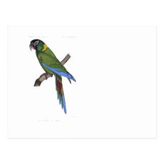 Pintura verde del Macaw del loro Postal
