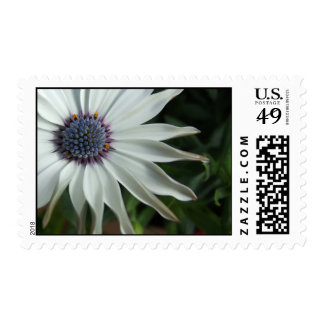 Pinwheel (Ostepermum Daisy) Flower Postage