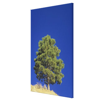 Pinyon Pine, Pinus edulis, Zion National Park, Uta Canvas Print