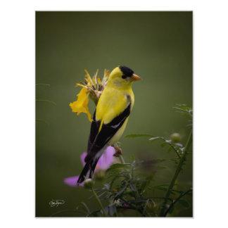 Pinzón amarillo que descansa en la foto de Georgia Fotografías