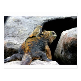 Pinzón de Darwin que hace autostop en iguana Tarjetas Postales