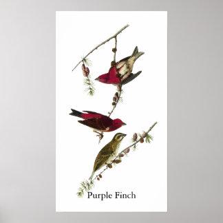 Pinzón púrpura de Audubon Posters