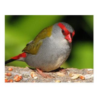 Pinzón Rojo-Cejudo australiano de Firetail Tarjetas Postales