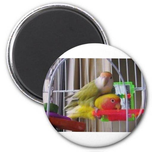Pio U, lovebirds, pájaros, mascotas, fotos diverti Imán Redondo 5 Cm