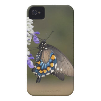 Pipevine Swallowtail, Battus philenor, adult iPhone 4 Cover