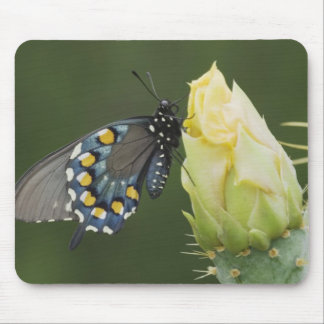 Pipevine Swallowtail, Battus philenor, adult on 2 Mouse Pad