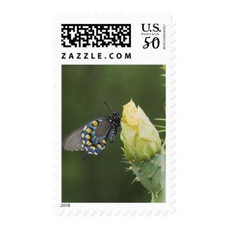 Pipevine Swallowtail, Battus philenor, adult on 2 Postage