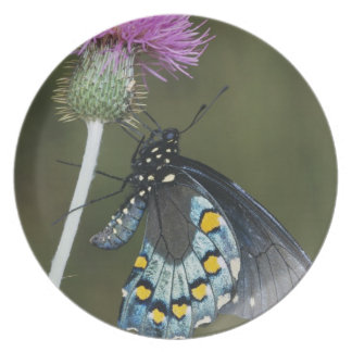 Pipevine Swallowtail, Battus philenor, adult on Plate