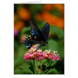 Pipevine Swallowtail Butterfly Greeting Cards