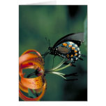 Pipevine Swallowtail Butterfly on Turk's cap lily Greeting Card