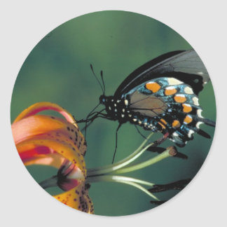Pipevine Swallowtail Butterfly on Turk's cap lily Classic Round Sticker