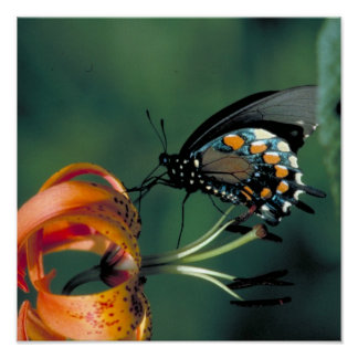 Pipevine Swallowtail Butterfly on Turk's cap lily Poster