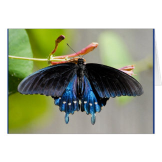 PIPEVINE SWALLOWTAIL - Card