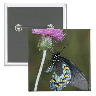 Pipevine Swallowtail, philenor de Battus, adulto e Pin Cuadrada 5 Cm