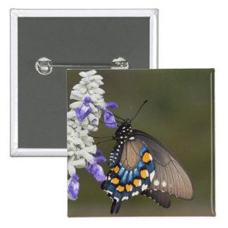 Pipevine Swallowtail, philenor de Battus, adulto Pin Cuadrada 5 Cm
