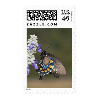 Pipevine Swallowtail, philenor de Battus, adulto Sellos