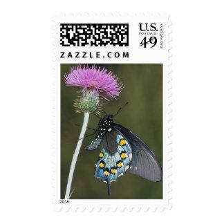 Pipevine Swallowtail, philenor de Battus, adulto Franqueo