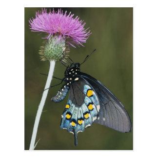 Pipevine Swallowtail, philenor de Battus, adulto Postal