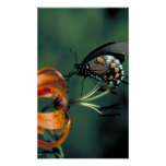 Pipevine Swallowtail Posters
