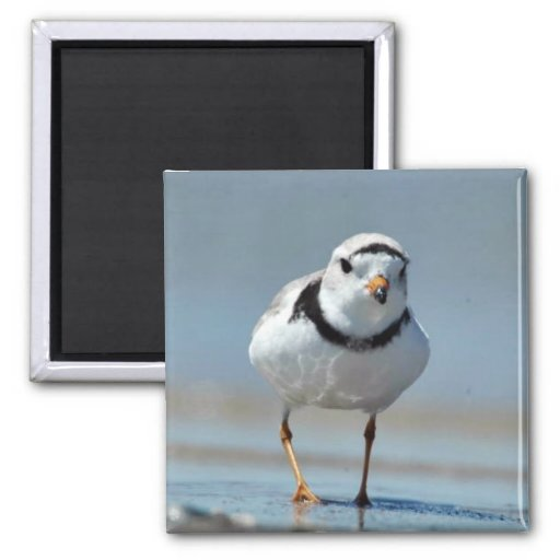 Piping Plover 2 Inch Square Magnet