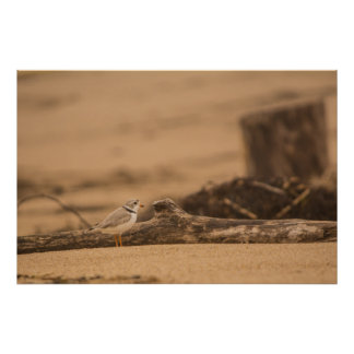 Piping Plover 36 x 24 Value Poster Paper (Matte)