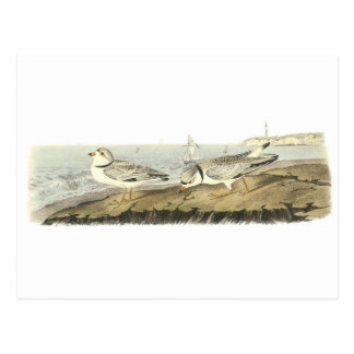Piping Plover by Audubon Post Cards