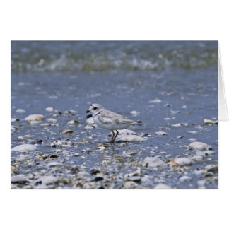 Piping plover greeting cards