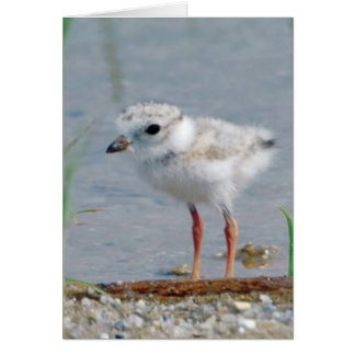 Piping Plover Card