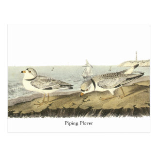 Piping Plover, John Audubon Postcard