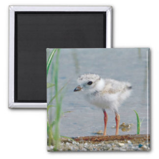 Piping Plover Magnet