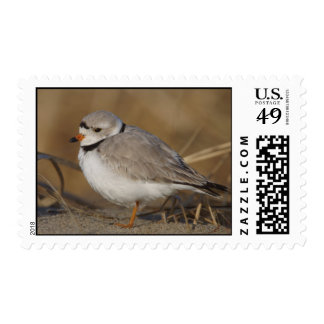 Piping Plover Postage Stamp