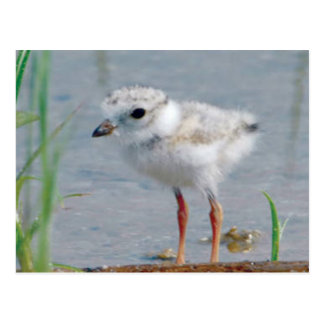 Piping Plover Postcards