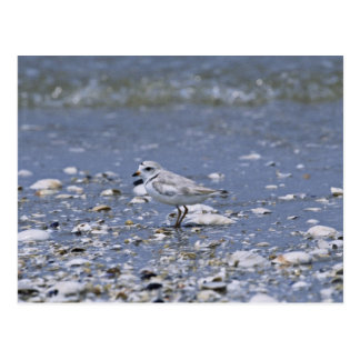 Piping plover post card
