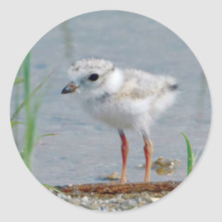 Piping Plover Round Stickers