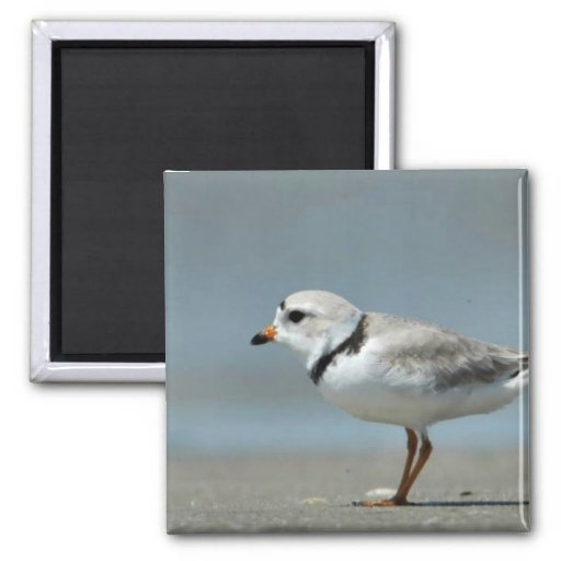 Piping Plover walking on the beach Fridge Magnets