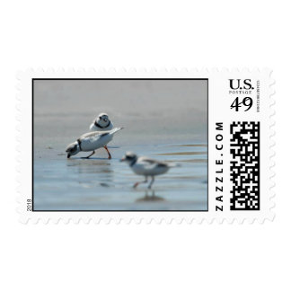 Piping Plovers eating on the beach Stamp