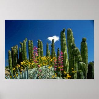 Pique muchas plantas, desierto de Sonoran, flores  Póster