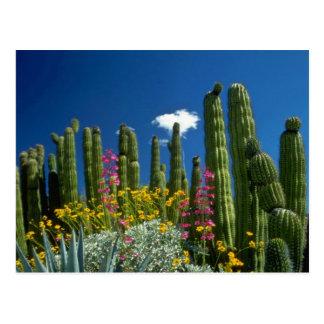 Pique muchas plantas, desierto de Sonoran, flores  Postales