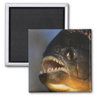 Piranha Close-Up 2 Inch Square Magnet