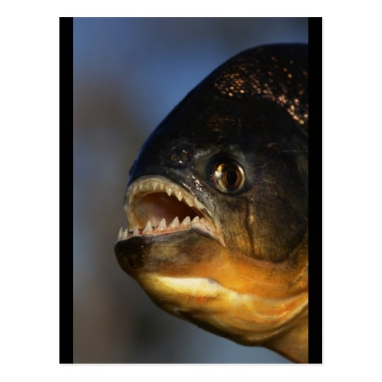 Piranha Close-Up Postcard
