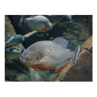 Piranha fish swimming color photograph postcard