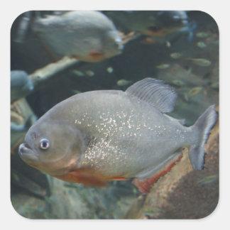 Piranha fish swimming color photograph square sticker