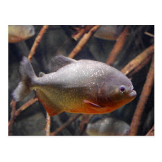 Piranha - Innocent Looking Brown Fish Postcard at Zazzle